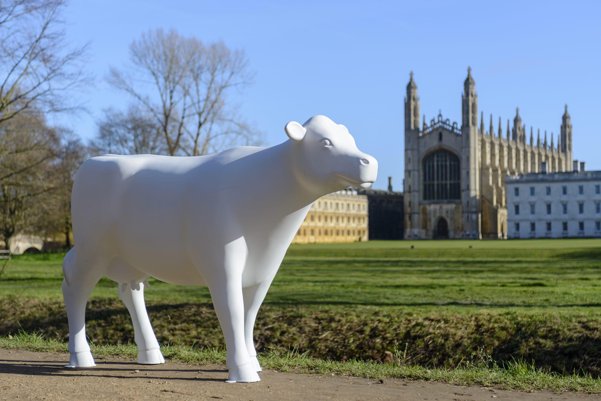 Cows about Cambridge